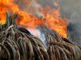 Burn of Ivory must be a communal concern for all Africans to save the African elephant