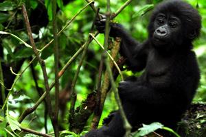 uganda gorilla tour