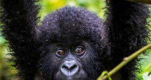 A gorilla in Bwindi